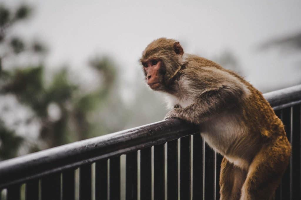 Curious monkey gazes over the balcony