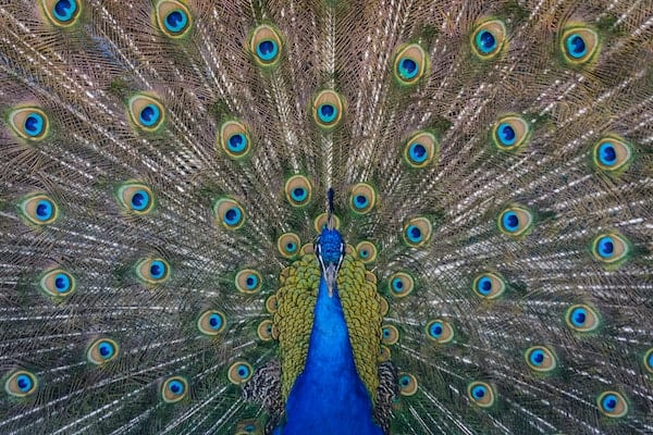 Peacock's compounding feathers