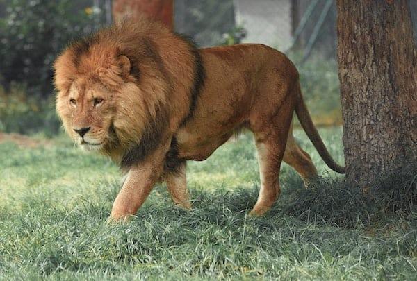 Lion, relentless on the hunt