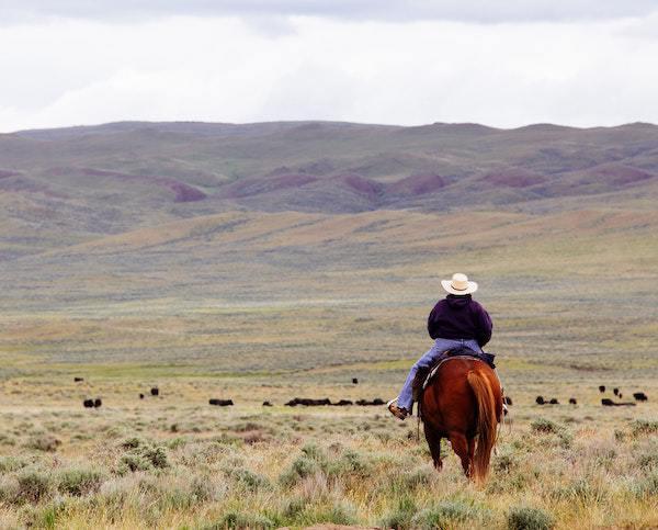 Self-reliant cowboy herding cows